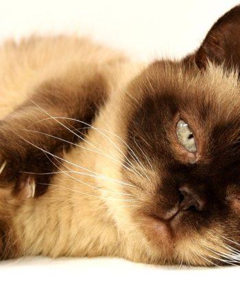 Czesanie kotów z długą i krótką sierścią